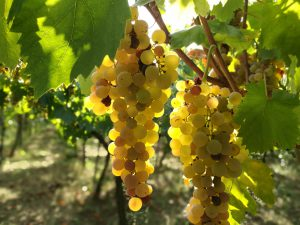Weintrauben in Süditalien